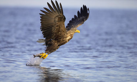 Biodiversity 100 UK: White-tailed eagle