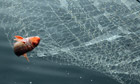 Sustainable fishing : Cornish Fisherman Chris Bean catches a fish in his nets