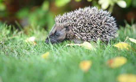 Britain's mammals Hedgehogs and red squirrels are still under threat
