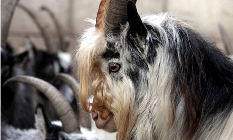 Newcastle University to track a herd of wild goats