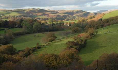 Country Diary : Denmark Farm : Cattle Grazing on Hillside Cwmystwyth Ceredigion West Wales