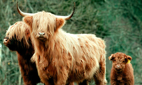Country diary : Denmark farm in Wales: Highland Cattles