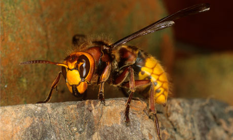 Queen Hornet Insect A queen wasp  european hornetQueen Hornet Insect