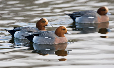 Country Diary : Male Eurasian Wigeons