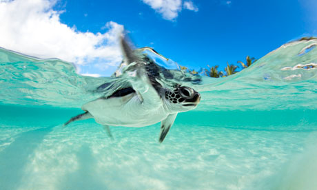 Cute baby sea turtles in the water - photo#4