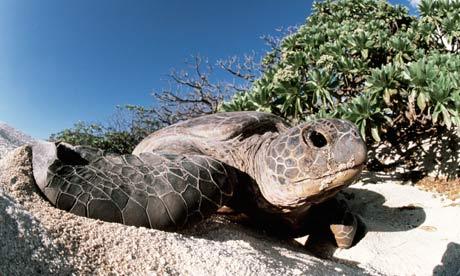 Green sea turtle nesting