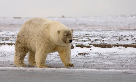A Possible Polar Bear - Grizzly Hybrid also called grolar bear