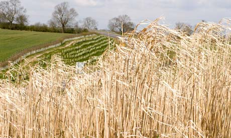 Damian Blog : Miscanthus giganteus  grown for biofuel