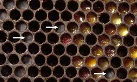 Honey and bee : Entombed Pollen