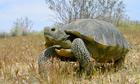 Mojave Desert Tortoise found in Piute Valley in Clark County, Nevada