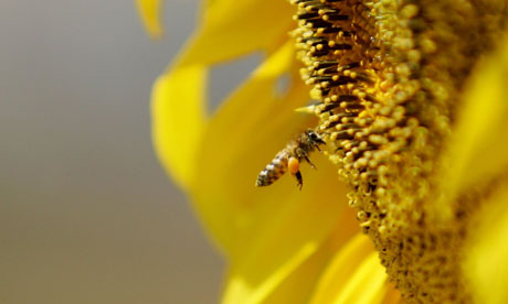 Damian blog : A bee collects pollen from a sunflower, pillination services
