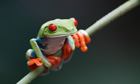 questions on biodiversity and species loss : Red-Eyed Treefrog