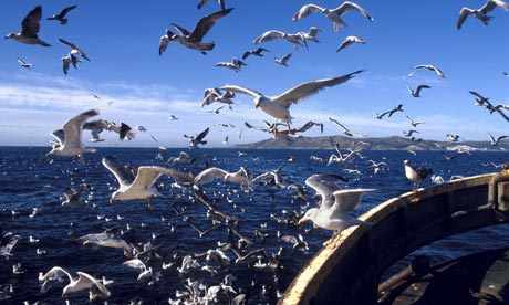 Seagulls follow fishing trawler off the coast of Galicia, Spain