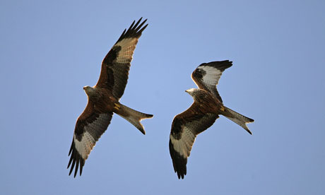 Red Kites Make The Most Of The Windy Weather