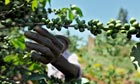 MDG : Coffee in Kenya : coffee tree in Kabati