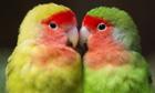 Week in wildlife : A couple of lovebirds