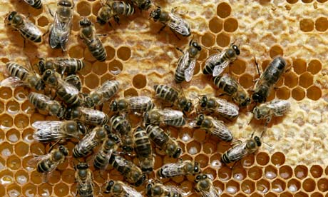 Honey bees sit on a honeycomb at Bad Segeberg, northern Germany