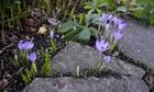 Signs of early spring , Crocus tommasinianus flowering