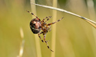 Country Diary : female Garden Cross Spider at Blackwater, Norfolk