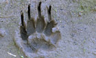 Badger Cull : Eurasian Badger (Meles meles) track in sand