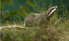 Badger Cull :  European badger (Meles meles)