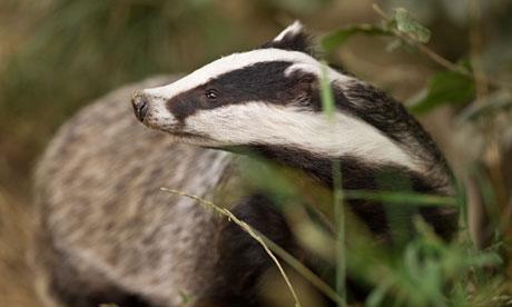 Badger Cull : European badger (Meles meles)
