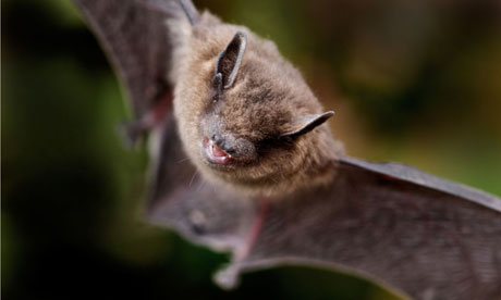 Country Diary archive : Common pipistrelle bat , UK