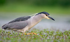 Country Diary Archive : Night Heron (Nycticorax nycticorax)