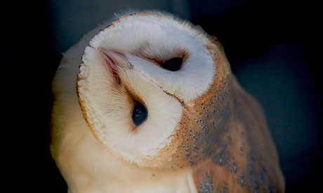 Country Diary : Barn owl