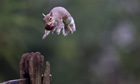 Country Diary : A grey squirrel jumping with a conker