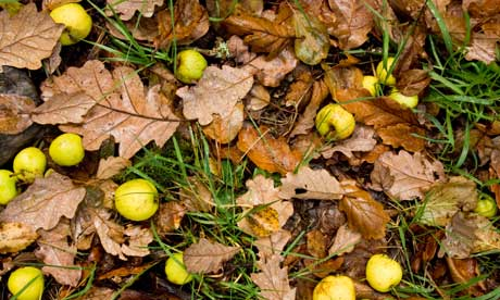 Country Diary : Crab apples fallen on oak leaf littered ground
