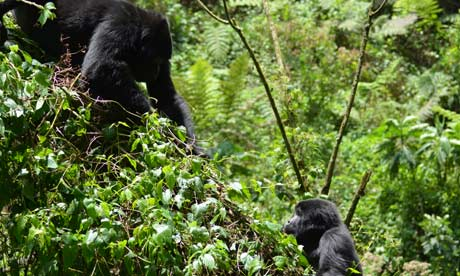 Mountain gorillas Uganda's Bwindi Impenetrable National Park census
