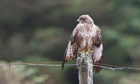 Country Diary : Common Buzzard (Buteo buteo) perched on a fence