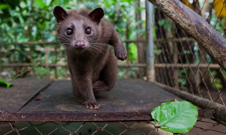 Indonesians Farm Civet Cats To Produce World