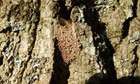 Country Diary : Vapourer moth cocoon and eggs, Godshill Inclosure, New Forest