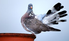 Country Diary Archive : Close up of Wood Pigeon preening