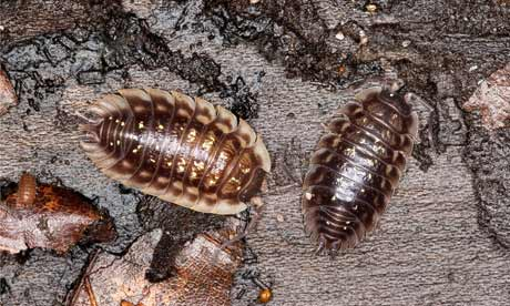 Country Diary Archive : Common woodlouse (Oniscus asellus, woodlice), on dead wood