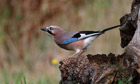 Country Diary : European jay (Garrulus glandarius)