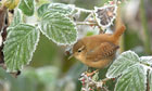 Country Diary : Wren in frosted bramble bush
