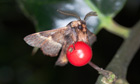 Country Diary : December Moth (Poecilocampa populi) on holly berry