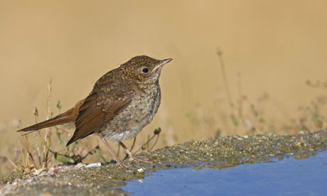 Monbiot blog : Common Nightingale (Luscinia megarhynchos) juvenile, standing at edge of pool, Spain