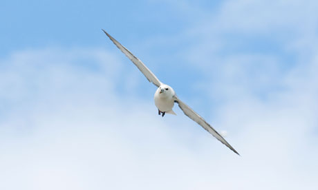 Country Diary : Flying fulmar
