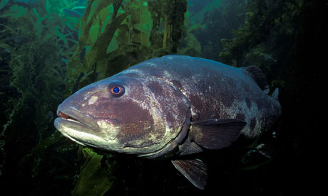 IUCN report on marine species in tropical eastern Pacific : Giant sea bass in California
