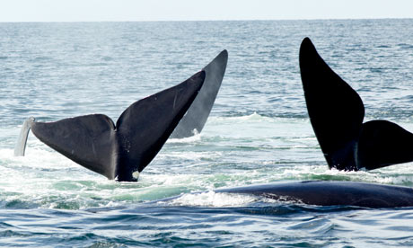 Protect whales from new oil industry threat, warns WWF