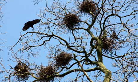 Country Diary : Rook nests and adult bird in a rookery