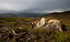 Red deer stag shooting at Mar Lodge in Scotland
