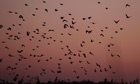 Starlings return to their roosts at Shapwick Heath, a wetland reserve, near Glastonbury