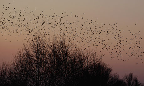 Starlings return to their roosts at Shapwick Heath, a wetland reserve near Glastonbury