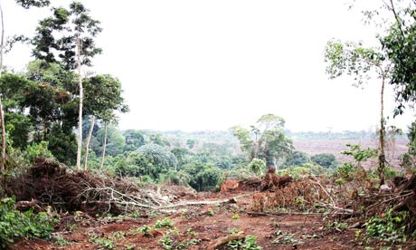 MDG : landgrab in Uganda, Kalangala :   BIDCO palm tree plantation