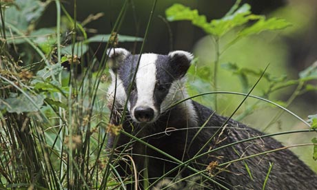 Country Diary : Close-up of an adult male Badger